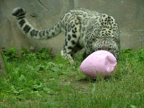 snow_leopard1
