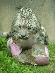 snow_leopard2