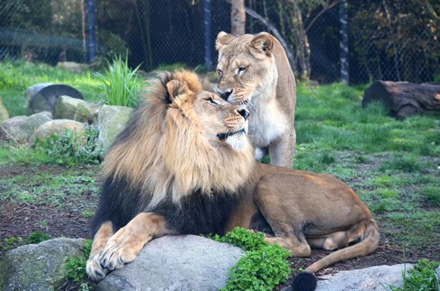 LION_1X640