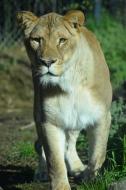 LION_2x300